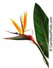 Bird of paradise flower (strelitzia) isolated on white background