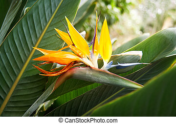 Strelitzia flower, Strelitzia reginae, also known as crane...