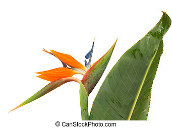 Strelitzia flower with leaf