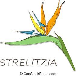 Strelitzia flowers on white background