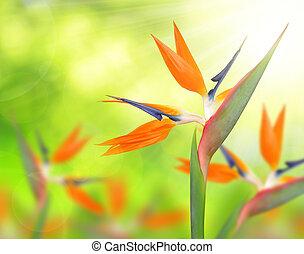 Strelitzia reginae, bird of paradise flower on green natural...