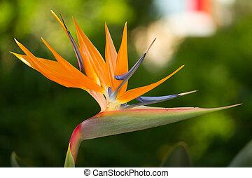 Strelitzia reginae flower - Close up view of a Strelitzia...