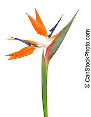 Strelitzia reginae, bird of paradise flower isolated on...