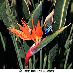 Strelitzia reginae. Exotic plant grows in warm climates.