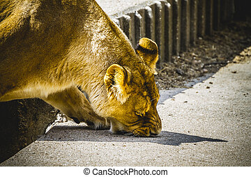 strength, lioness in a zoo park