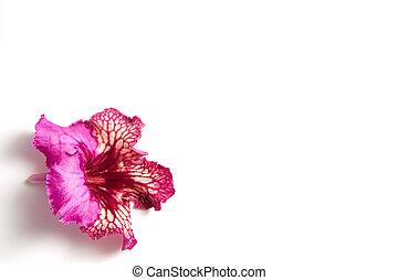 streptocarpus flower on a white background with place for text