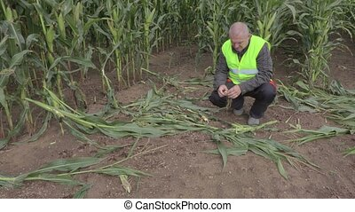 Stressful farmer on the damaged cornfield