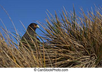Striated Caracara in tussock grass - Striated Caracara...