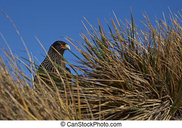 Striated Caracara in tussock grass