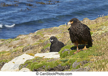 Striated Caracara with chick