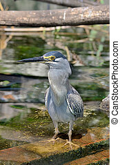 Striated Heron, Mangrove heron, green-backed heron or Little heron, (Butorides striata)