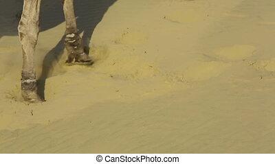 Striding camels - Camels striding through the desert
