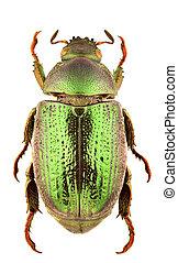 Strigidia species - female of Strigidia isolated on white...