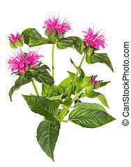 Striking pink flowers of the Crimson Beebalm, or Monarda...