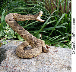 Rattle snake posed on a rock.