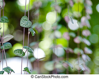 String of hearts(Ceropegia woodii) Family Asclepiadaceae...