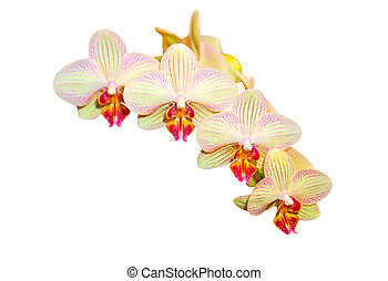 Strip Orchid