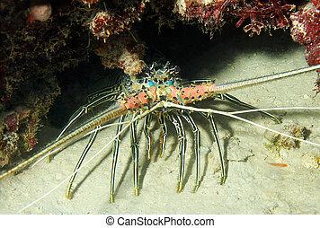 Stripe-leg Spiny Lobster (Panulirus Femoristriga), Bunaken, Indonesia