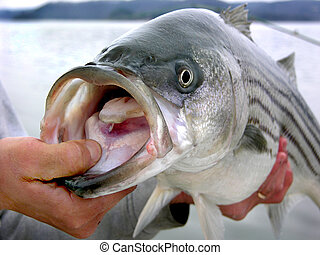Striped bass - Angler shows off nice striped bass caught in...