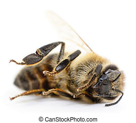 Striped bee. - Little bee stripes on a white background.