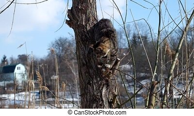 Striped cat is standing on the tree on the way climb down