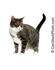 striped cat isolated on white background