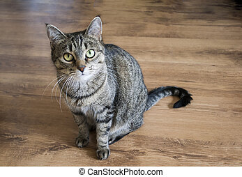 striped cat looking into eyes on wooden floor, full size,...