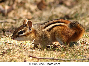 Side view of a striped chipmunk standing.