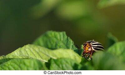 Striped colorado beetle