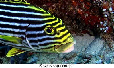 Striped fish grumbler grouse underwater on background of seabed in Maldives.