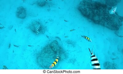 Striped fishes swimming - Group of striped fishes are...