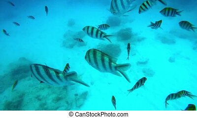 Striped fishes swimming