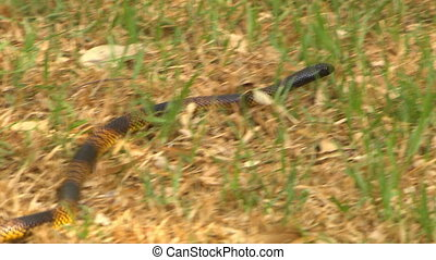 Striped gwardar snake slithering in the grass - A yellow and...