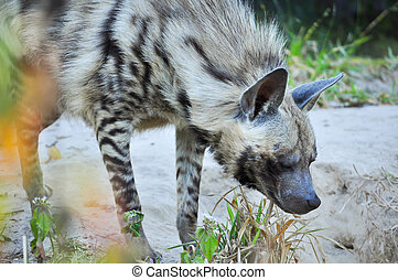 Striped hyena - The striped hyena is a species of true hyena...