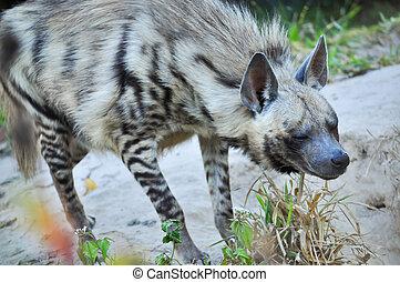 Striped hyena - The striped hyena is a species of true hyena...