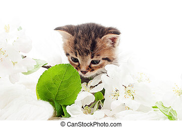 striped kitten and a blossoming apple tree branch on a white bac