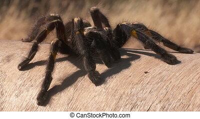 Striped Knee Tarantula on Wood - Steady, close up shot of a...