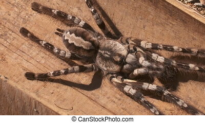 Striped Knee Tarantula on Wooden Table - Steady, high angle...