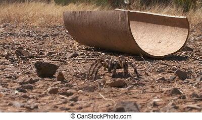 Striped Knee Tarantula Walking Away From Half Pipe -...