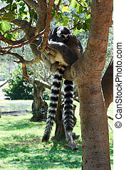 striped lemur