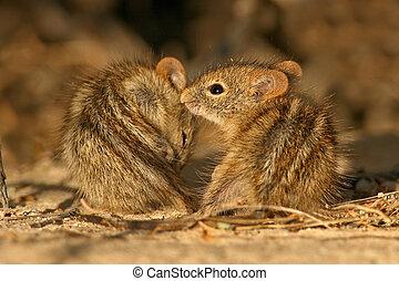 Striped mice  - Two striped mice