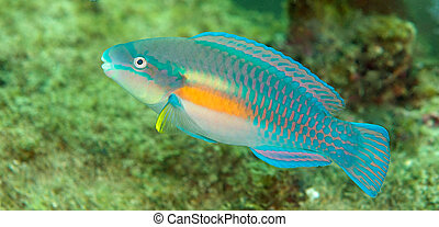 Striped Parrotfish swimming over a coral reef.