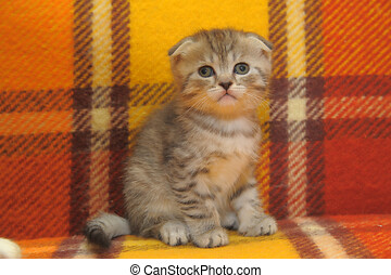 striped scottish fold kitten