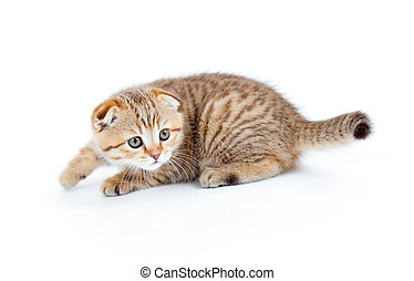 Striped Scottish kitten fold pure breed stalking isolated