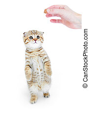 Striped Scottish kitten fold pure breed standing isolated