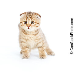 Striped Scottish kitten fold pure breed staying four legs isolated