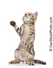 Striped Scottish kitten pure breed dancing isolated