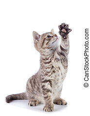Striped Scottish kitten pure breed sitting with paw stretched out isolated