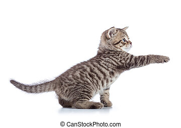 Striped Scottish kitten pure breed with paw stretched out isolated