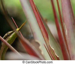 Striped Sharpnose Snake (Xenoxybeli - In the Ecuadorian...